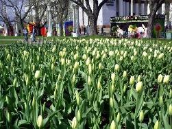 Май Белые тюльпаны