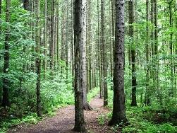 Сентябрь Тропинка в еловом лесу